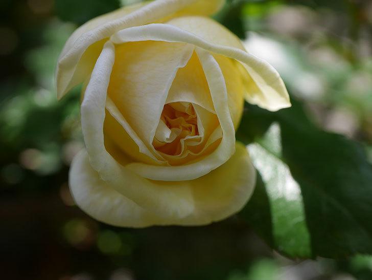 アルベリック・バルビエ(ツルバラ)の花がポツポツ咲きだした。ツルバラ。2021年-026.jpg