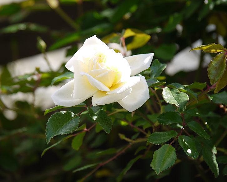 アルベリック・バルビエ(ツルバラ)の花が咲いた。2018年-1.jpg