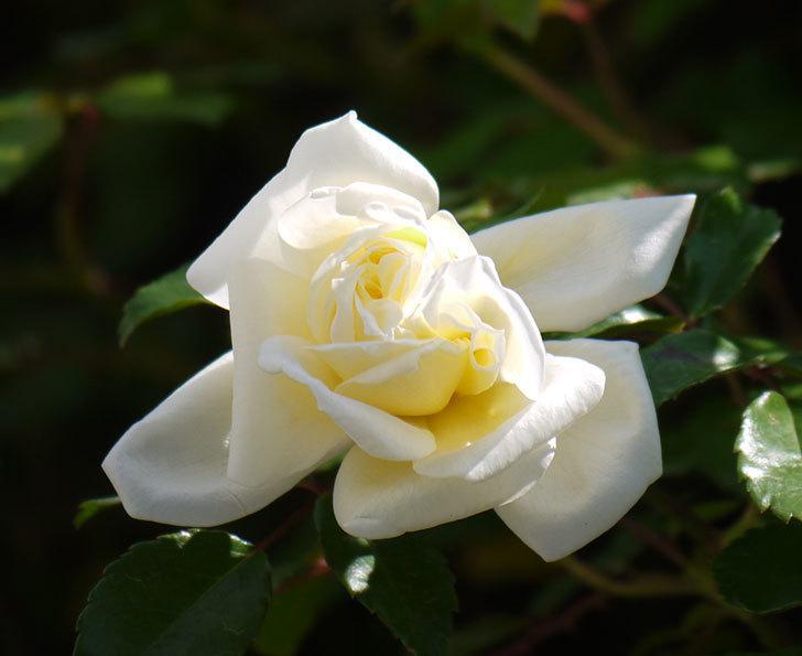 アルベリック・バルビエ(ツルバラ)の花が咲いた。2018年-2.jpg