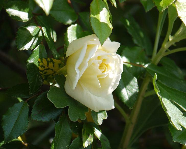 アルベリック・バルビエ(ツルバラ)の花が咲いた。2018年-4.jpg