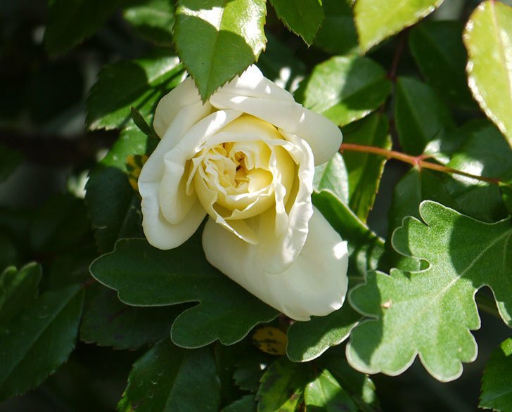 アルベリック・バルビエ(ツルバラ)の花が咲いた。2018年-5.jpg