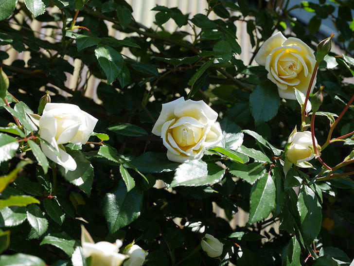 アルベリック・バルビエ(ツルバラ)の花が咲いた。2019年-1.jpg