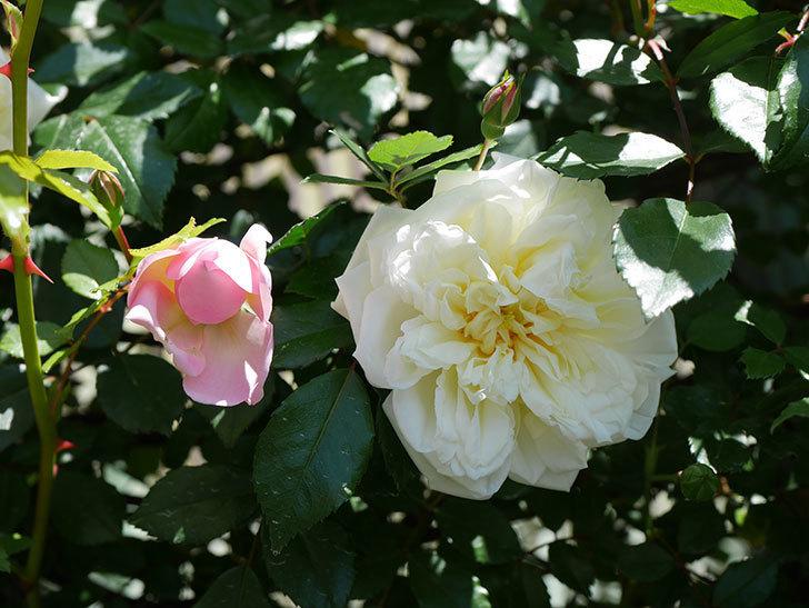 アルベリック・バルビエ(ツルバラ)の花が咲いた。2019年-10.jpg