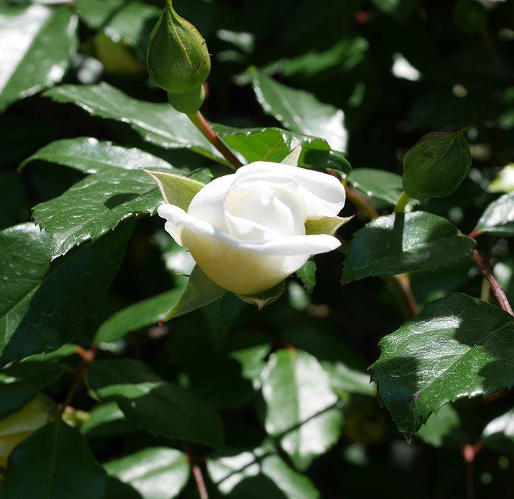 アルベリック・バルビエ(ツルバラ)の花が咲いた。2019年-11.jpg