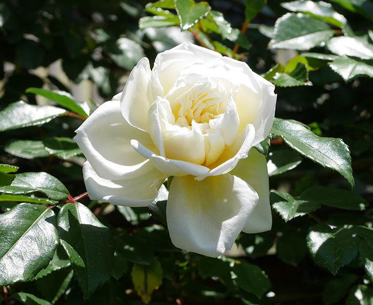 アルベリック・バルビエ(ツルバラ)の花が咲いた。2019年-12.jpg