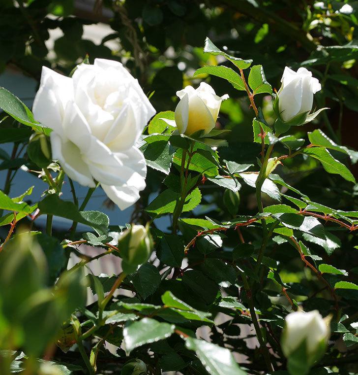 アルベリック・バルビエ(ツルバラ)の花が咲いた。2019年-13.jpg