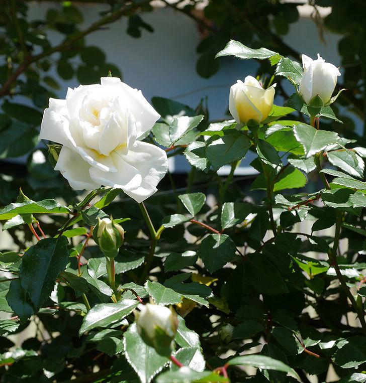 アルベリック・バルビエ(ツルバラ)の花が咲いた。2019年-14.jpg