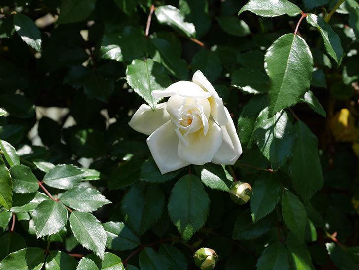 アルベリック・バルビエ(ツルバラ)の花が咲いた。2019年-15.jpg