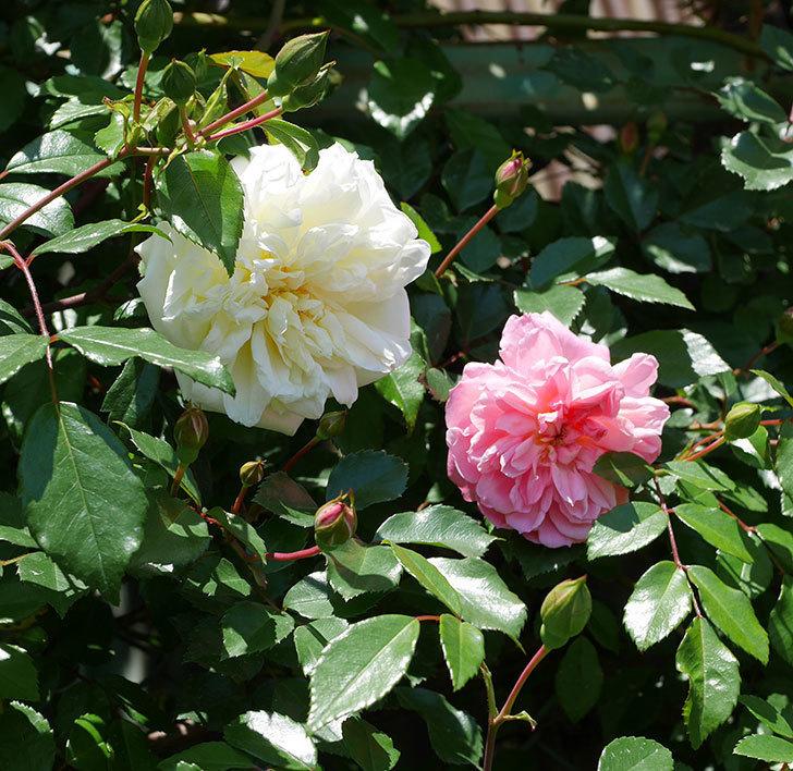 アルベリック・バルビエ(ツルバラ)の花が咲いた。2019年-16.jpg