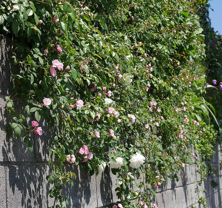 アルベリック・バルビエ(ツルバラ)の花が咲いた。2019年-17.jpg