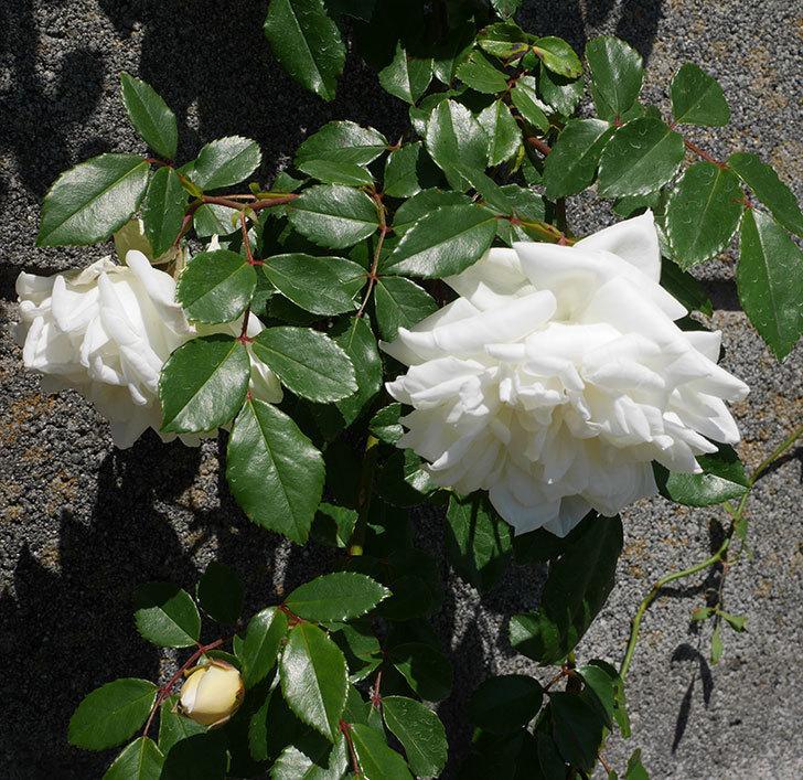 アルベリック・バルビエ(ツルバラ)の花が咲いた。2019年-18.jpg