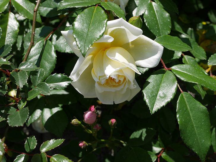 アルベリック・バルビエ(ツルバラ)の花が咲いた。2019年-19.jpg