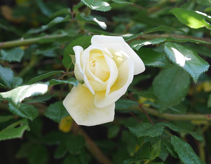 アルベリック・バルビエ(ツルバラ)の花が咲いた。2019年-2.jpg