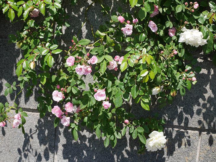 アルベリック・バルビエ(ツルバラ)の花が咲いた。2019年-20.jpg