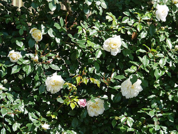 アルベリック・バルビエ(ツルバラ)の花が咲いた。2019年-21.jpg