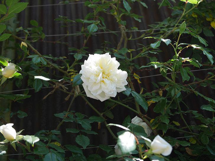 アルベリック・バルビエ(ツルバラ)の花が咲いた。2019年-3.jpg