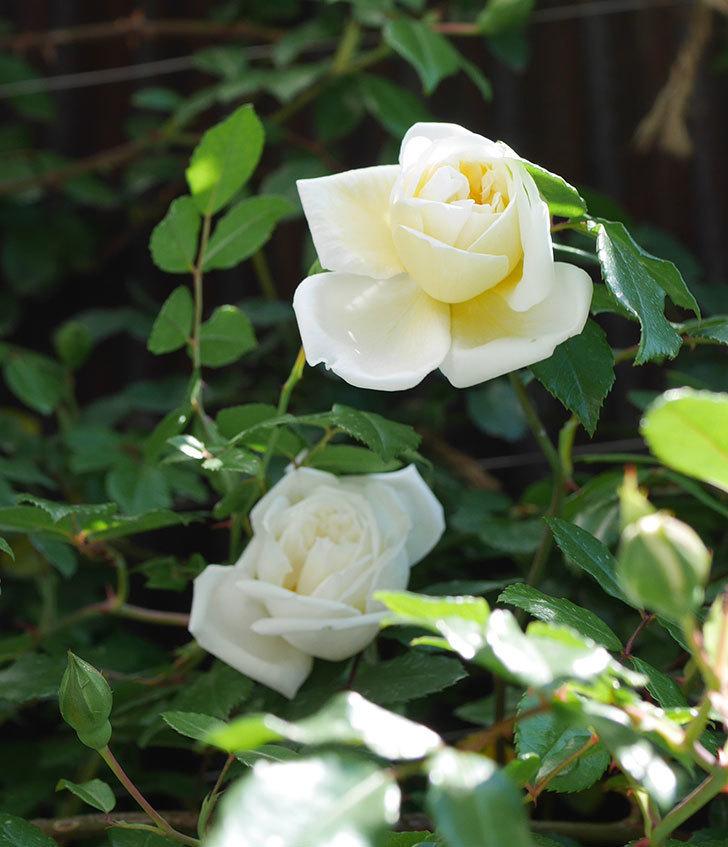 アルベリック・バルビエ(ツルバラ)の花が咲いた。2019年-4.jpg