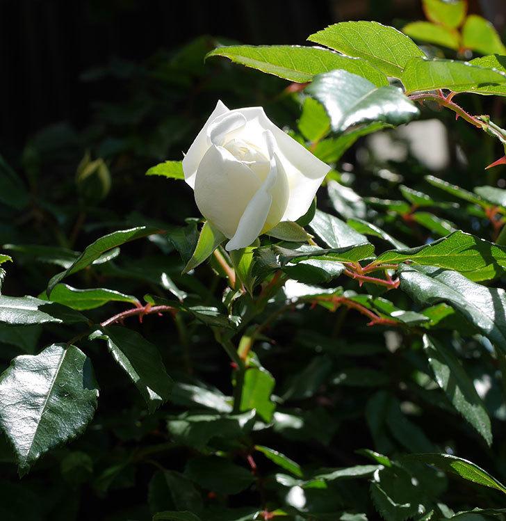 アルベリック・バルビエ(ツルバラ)の花が咲いた。2019年-5.jpg
