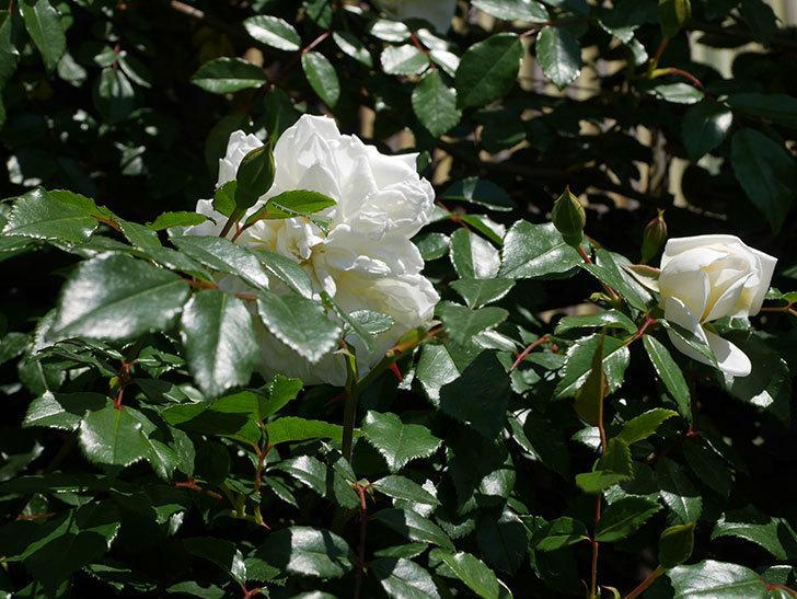 アルベリック・バルビエ(ツルバラ)の花が咲いた。2019年-6.jpg