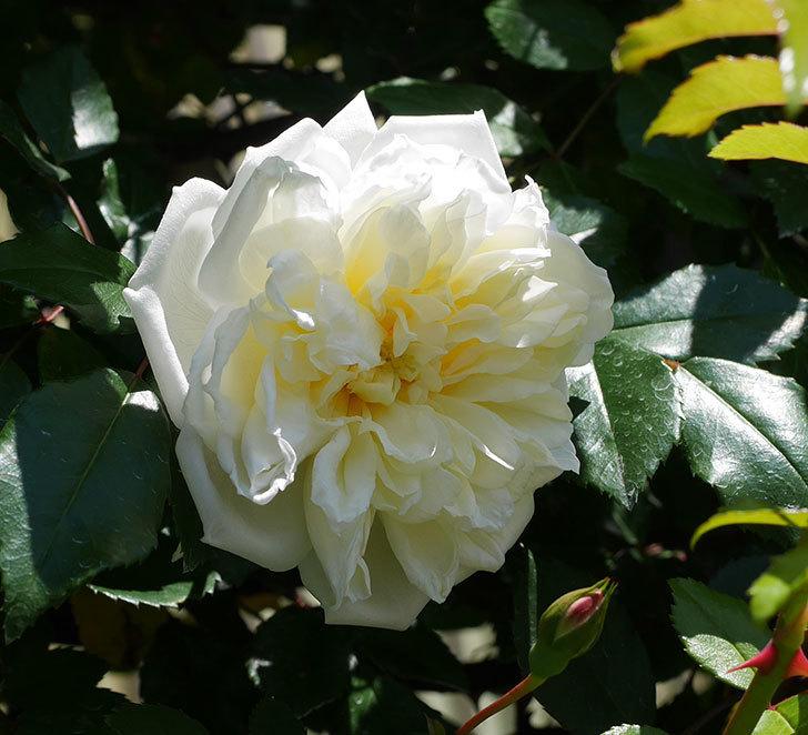 アルベリック・バルビエ(ツルバラ)の花が咲いた。2019年-7.jpg