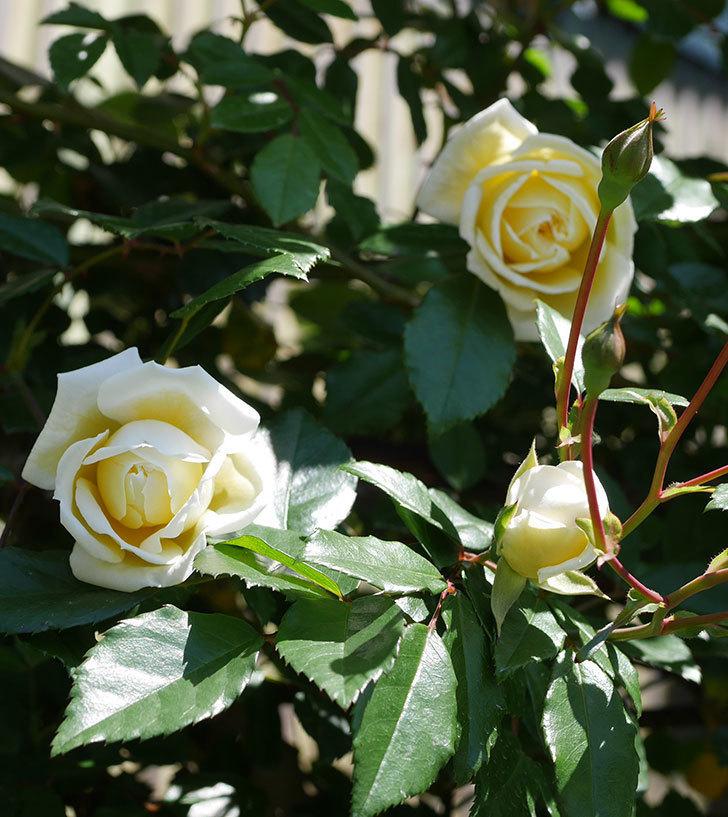 アルベリック・バルビエ(ツルバラ)の花が咲いた。2019年-8.jpg