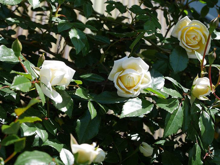アルベリック・バルビエ(ツルバラ)の花が咲いた。2019年-9.jpg