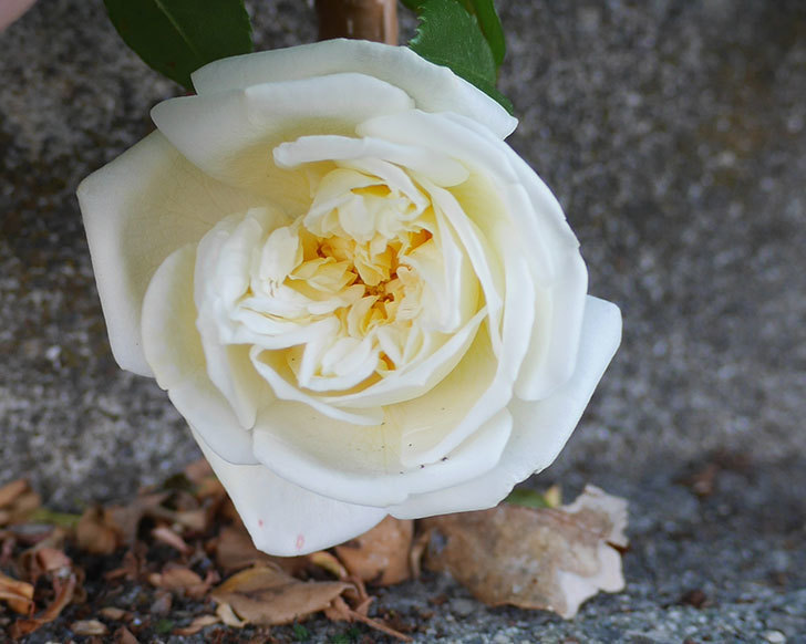 アルベリック・バルビエ(ツルバラ)の花が咲いた。2020年-1.jpg