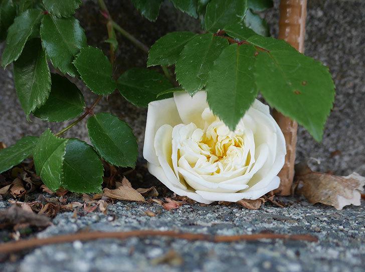 アルベリック・バルビエ(ツルバラ)の花が咲いた。2020年-2.jpg
