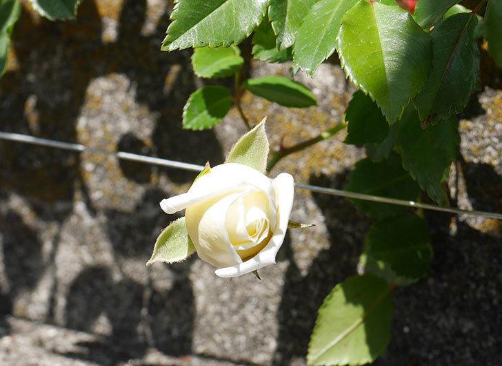 アルベリック・バルビエ(ツルバラ)の花が咲いた。2020年-3.jpg