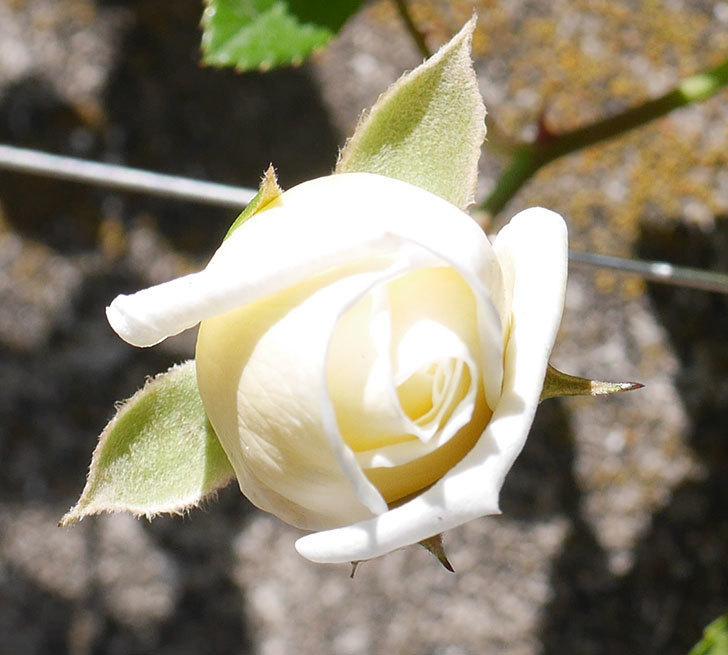 アルベリック・バルビエ(ツルバラ)の花が咲いた。2020年-4.jpg