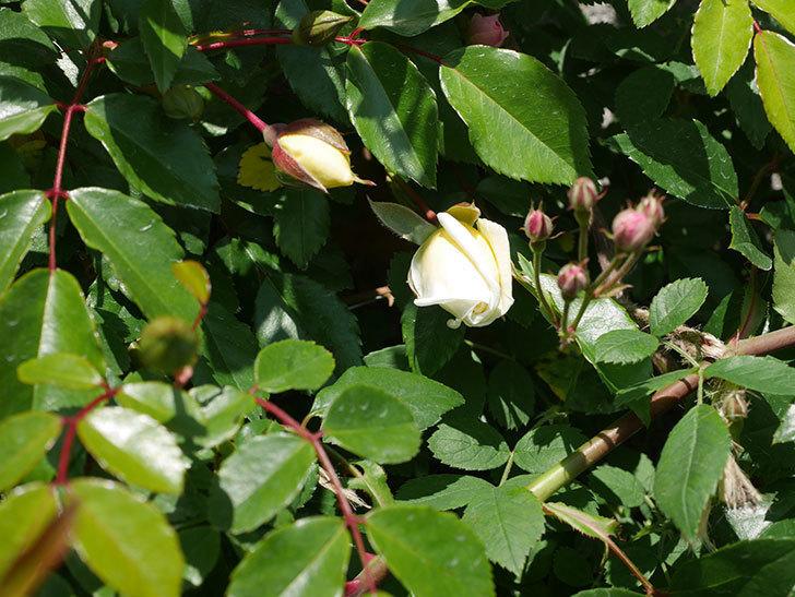 アルベリック・バルビエ(ツルバラ)の花が咲いた。2020年-5.jpg