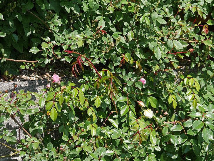 アルベリック・バルビエ(ツルバラ)の花が咲いた。2020年-6.jpg