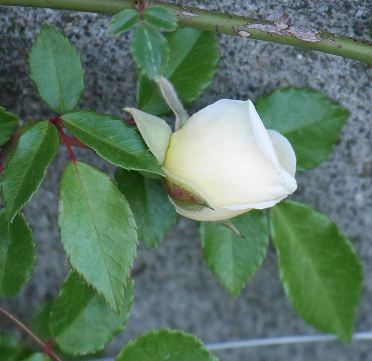 アルベリック・バルビエ(ツルバラ)の花が咲きそう。2020年-1.jpg