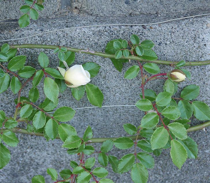 アルベリック・バルビエ(ツルバラ)の花が咲きそう。2020年-2.jpg