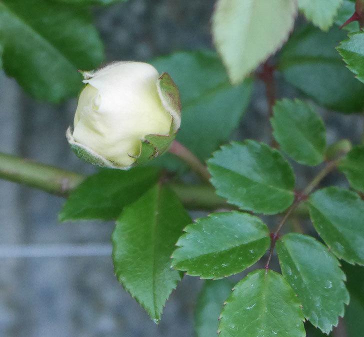 アルベリック・バルビエ(ツルバラ)の花が咲きそう。2020年-3.jpg