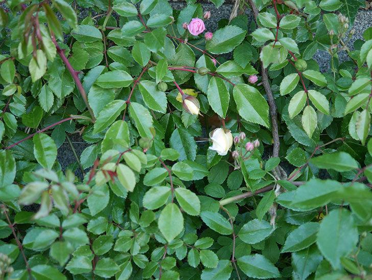 アルベリック・バルビエ(ツルバラ)の花が咲きそう。2020年-4.jpg