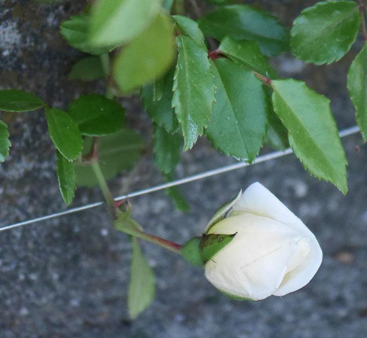 アルベリック・バルビエ(ツルバラ)の花が咲きそう。2020年-5.jpg