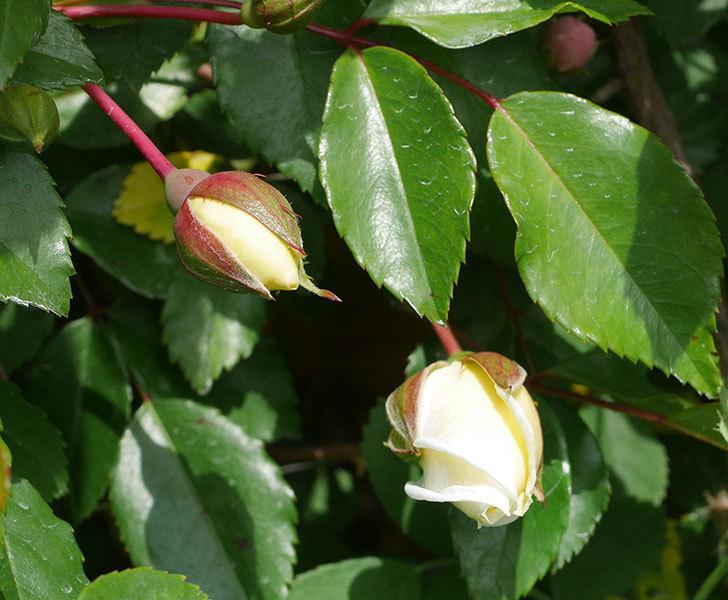 アルベリック・バルビエ(ツルバラ)の花が咲きそう。2020年-9.jpg