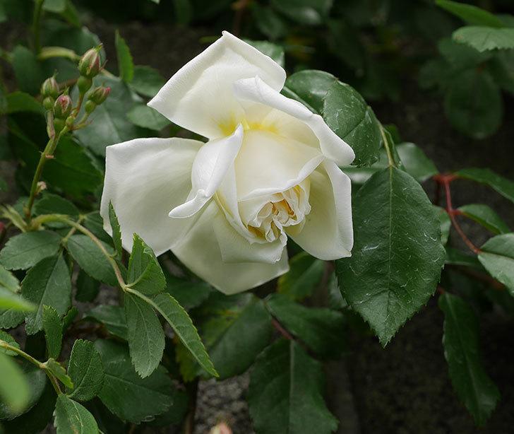 アルベリック・バルビエ(ツルバラ)の花が咲きだした。2019年-1.jpg