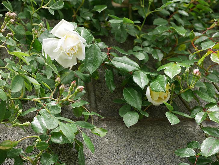 アルベリック・バルビエ(ツルバラ)の花が咲きだした。2019年-10.jpg