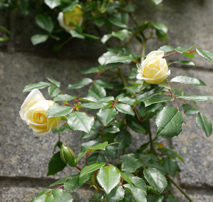 アルベリック・バルビエ(ツルバラ)の花が咲きだした。2019年-12.jpg