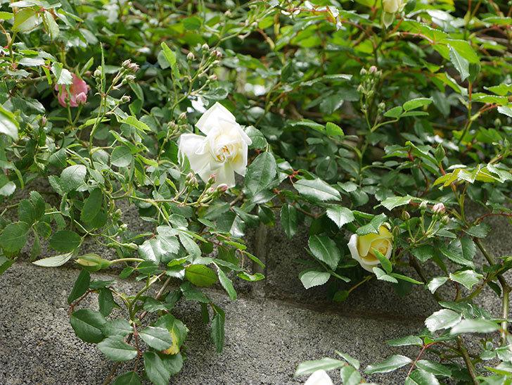 アルベリック・バルビエ(ツルバラ)の花が咲きだした。2019年-13.jpg