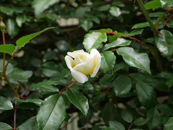 アルベリック・バルビエ(ツルバラ)の花が咲きだした。2019年-2.jpg