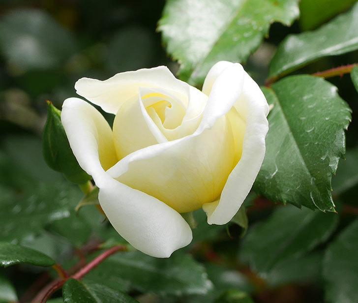 アルベリック・バルビエ(ツルバラ)の花が咲きだした。2019年-3.jpg
