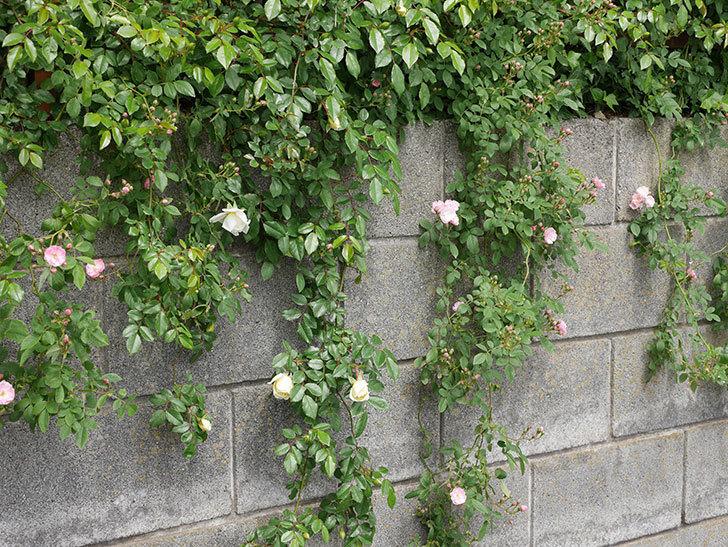 アルベリック・バルビエ(ツルバラ)の花が咲きだした。2019年-5.jpg