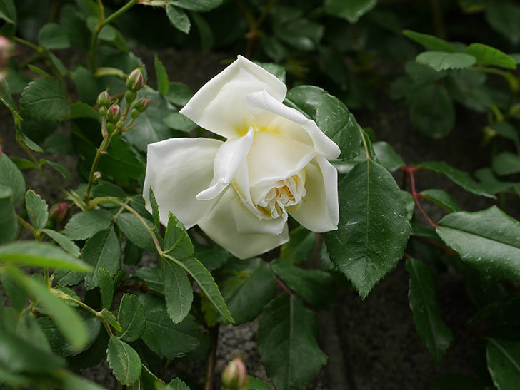 アルベリック・バルビエ(ツルバラ)の花が咲きだした。2019年-6.jpg