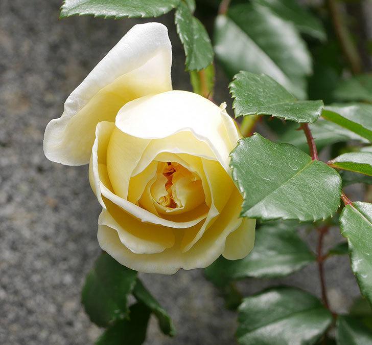 アルベリック・バルビエ(ツルバラ)の花が咲きだした。2019年-7.jpg