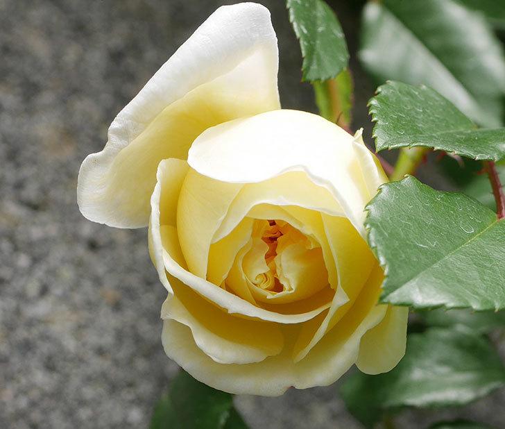 アルベリック・バルビエ(ツルバラ)の花が咲きだした。2019年-8.jpg