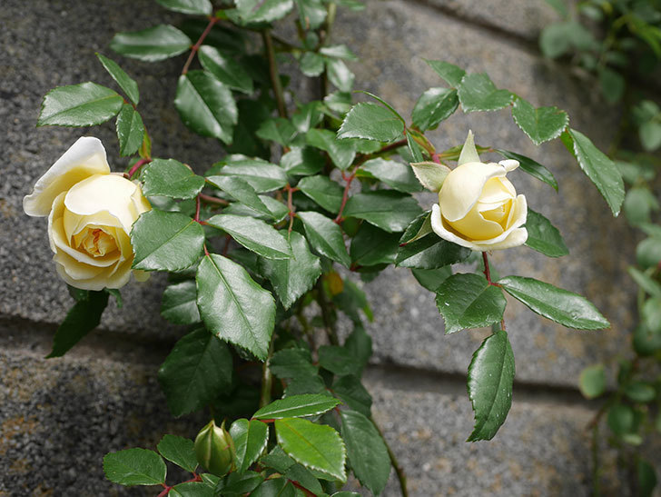 アルベリック・バルビエ(ツルバラ)の花が咲きだした。2019年-9.jpg