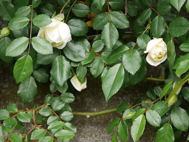 アルベリック・バルビエ(ツルバラ)の花が咲きだした。ツルバラ。2021年-010.jpg